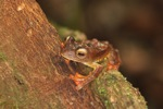 Bornean Flying tree frog (Rhacophorus pardalis)