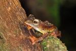 Borno Gliding leopard tree frog (Rhacophorus pardalis) [kalbar_1994]
