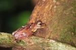 Borno Gliding leopard frog (Rhacophorus pardalis) [kalbar_1996]