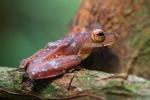 Borno Flying leopard frog (Rhacophorus pardalis)