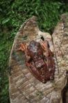 Flying leopard tree frog (Rhacophorus pardalis)