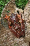 Flying frog (Rhacophorus pardalis)
