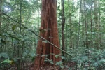 Red tree in Borneo