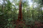 Red tree in Borneo [kalbar_2041]