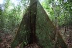 Triangular buttress roots [kalbar_2051]