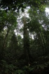 Dipterocarp in Borneo
