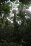 Rainforest Dipterocarp in Borneo
