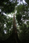 Dipterocarp tree in Borneo