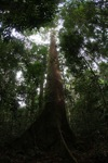 Dipterocarp tree in the rainforest of Borneo