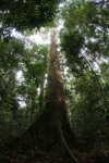 Dipterocarp tree in the Borneo jungle