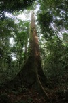 Dipterocarp tree in Indonesian Borneo