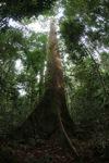 Dipterocarp tree in Indonesian Borneo