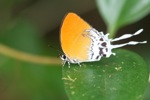 Orange butterfly with white streamers