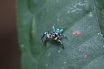 Turquoise and black jumping spider [kalbar_2126]