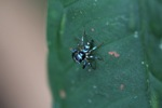 Turquoise and black jumping spider