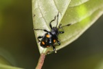 Black beetle with orange spots