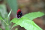 Malay Red Harlequin butterfly (Paralaxita damajanti) [kalbar_2146]