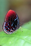Malay Red Harlequin butterfly (Paralaxita damajanti) [kalbar_2147]