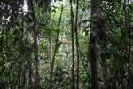 Baby wild orangutan [kalbar_2183]