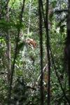 Baby wild orangutan [kalbar_2184]