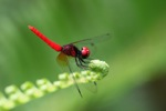 Electric red dragonfly