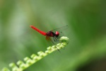 Glowing red dragonfly