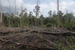 Cut, drained, and burned peat swamp forest [kalbar_2221]