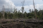 Cut and drained peat swamp forest [kalbar_2223]