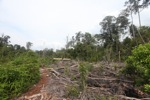Illegal logger harvesting timber near Gunung Palung National Park