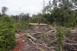 No pictures please: Illegal logger harvesting timber near Gunung Palung National Park