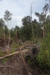 Logging trail for illegal loggers in Borneo