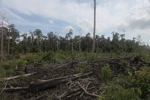 Cut, drained, and burned peat swamp forest