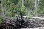 Cut and drained peat swamp forest [kalbar_2241]