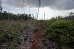 Cut, drained, and burned peat swamp forest [kalbar_2201]