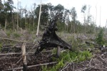 Cut and drained peat swamp forest [kalbar_2256]