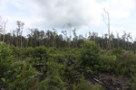 Cleared peat swamp forest