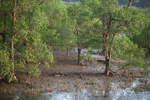 Mangrove forest [kalbar_2291]