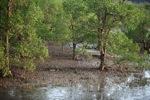 Mangrove forest [kalbar_2293]