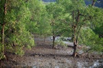 Mangrove forest [kalbar_2288]