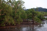 Mangrove forest [kalbar_2294]