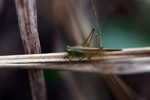 Beige and green grasshopper