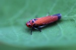Bright orange-pink planthopper [kalsel_0051]