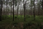 Rubber plantation [kalsel_0062]