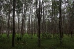 Rubber plantation [kalsel_0061]