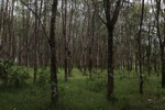 Rubber plantation [kalsel_0058]