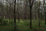 Rubber plantation [kalsel_0058]