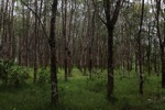 Rubber plantation
