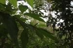 Green Crested Lizard (Bronchocela cristatella) [kalsel_0111]