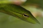 Green Oriental Vine Snake (Ahaetulla prasina) [kalsel_0100]