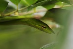Green Asian Vine Snake (Ahaetulla prasina)